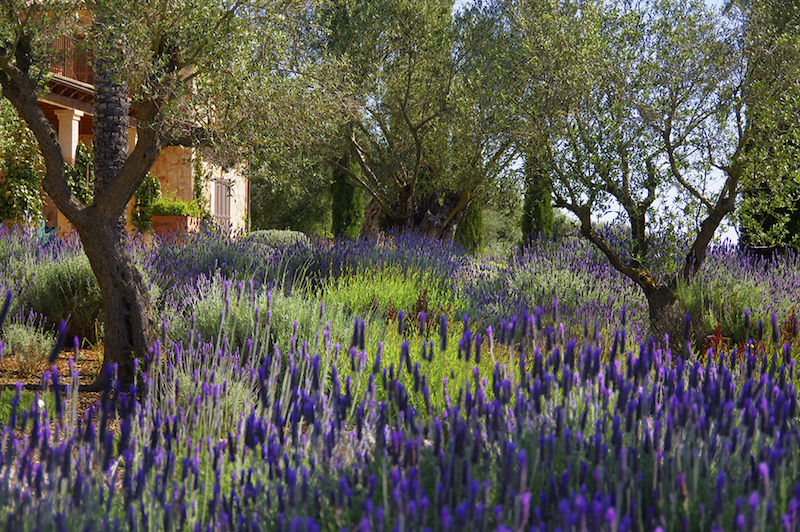 Mediterranean-garden-of-olive-trees-and-lavenders