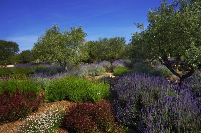 Olivenbäume-und-Lavendel-Landschaftsgestaltung-Mallorca