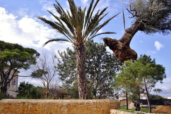 Olivenbaumplantage-in-Cal-Reiet-Mallorca