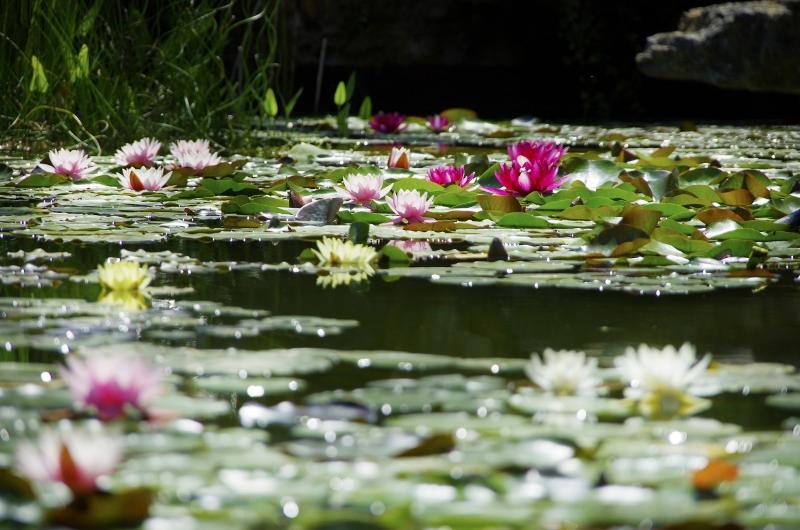 Teich-von-Seerosen-im-mallorquinischen-Garten
