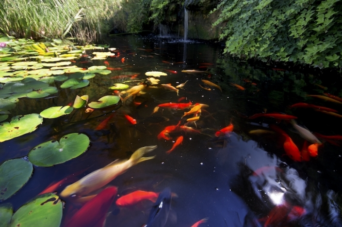 fish-and-nupheres-in-the-lake-in-malorquin-garden